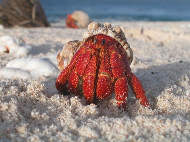1280px-A_hermit_crab_emerges_from_its_shell